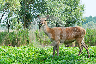 Female deer in nature