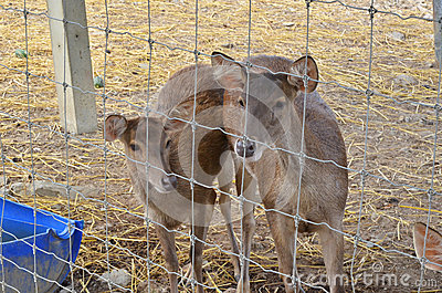 Female deer and young deer in cage