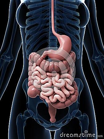 Female Digestive System D Rendered Illustration