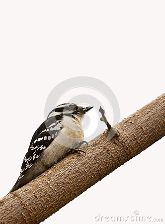 Free Female Downy Woodpecker Stock Images - 26641894