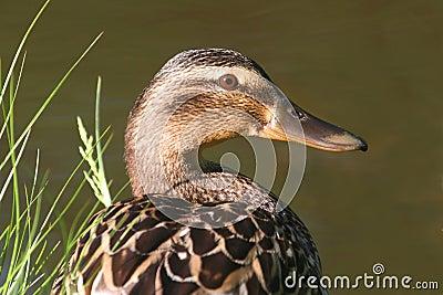 Female Duck (Mallard) On A Nest