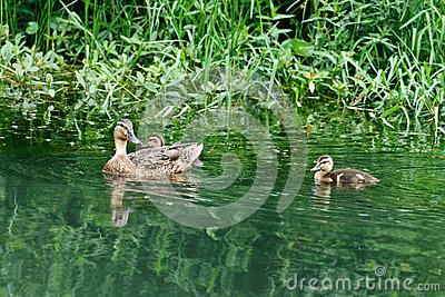 A female duck and several baby ducks