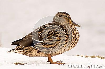 Female duck on snow