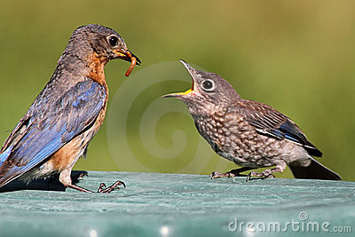 Female Eastern Bluebird Feeding A Baby Stock Photos