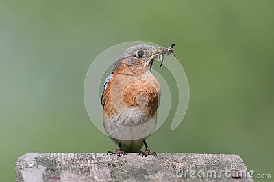 Female Eastern Bluebird With Insect