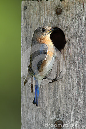 Female Eastern Bluebird at Nest Box