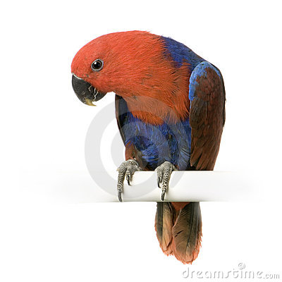 Free Female Eclectus Parrot Stock Images - 2314454