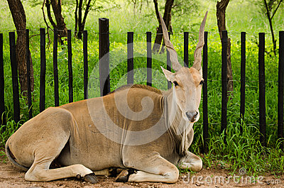 south africa antelope