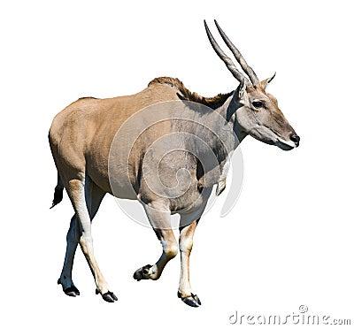 Female eland walking cutout
