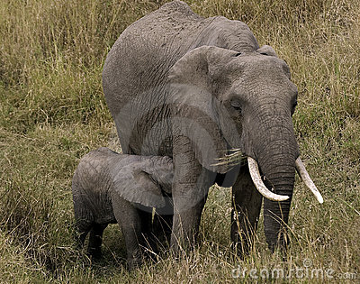 Female elephant and calf