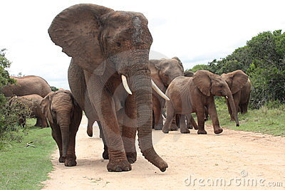 A female elephant leads her herd