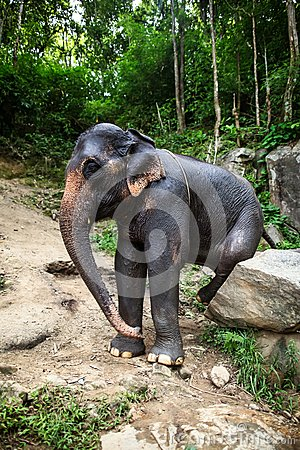 Female elephant sits on boulder scratches itself
