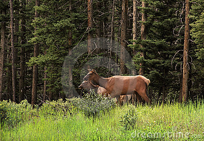 Female Elk Royalty Free Stock Photo - Image: 20612895