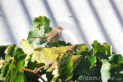 Female fairy wren on grape vine