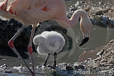 Female Flamingo and chick