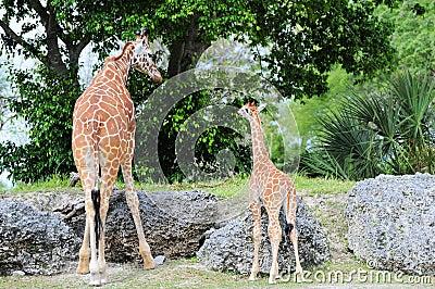 Female Giraffe & Baby