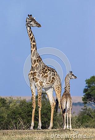 Free Female Giraffe With A Baby In The Savannah. Kenya. Tanzania. East Africa. Stock Photo - 78918560