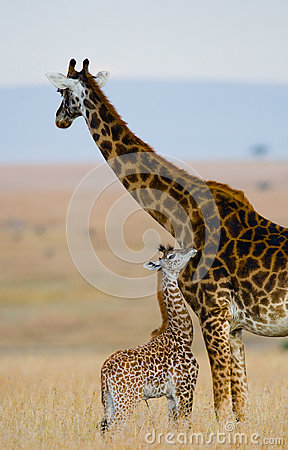 Free Female Giraffe With A Baby In The Savannah. Kenya. Tanzania. East Africa. Royalty Free Stock Images - 78933099