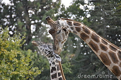 Female giraffe with young