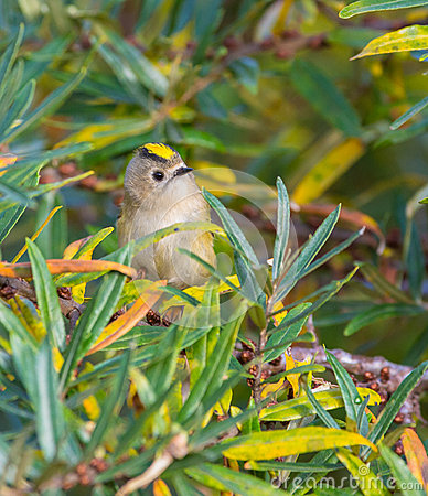 Female Goldcrest in a bush