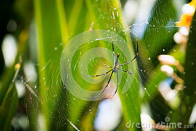Female Golden Web Spider, Bali