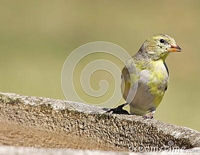 Female Goldfinch