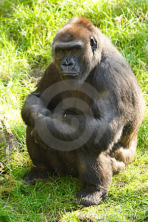 Free Female Gorilla Stock Photos - 1375953