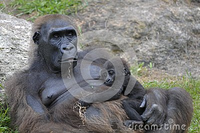 Female gorilla with a baby