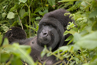 Female gorilla in Rwanda
