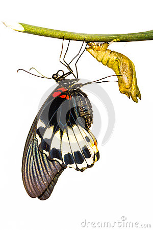 Free Female Great Mormon Butterfly Stock Photo - 28713390