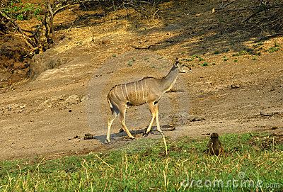 Female Greater Kudu