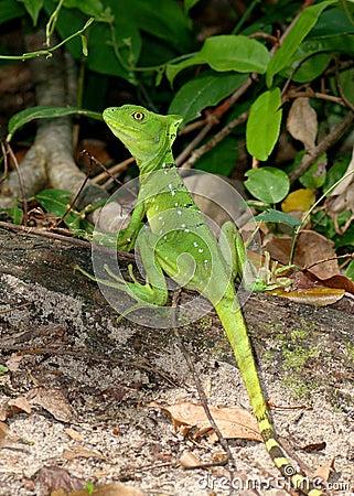 Female Green Basilisk, Basiliscus plumifrons