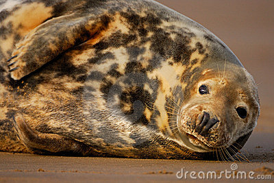 Female grey seal rests at Donna Nook