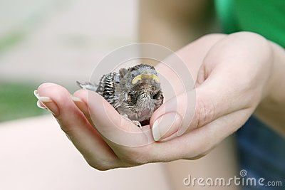 Female hand holding a chick