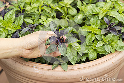 Female hand holding fresh and healthy Sweet Dark Leaf Basil in P