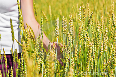 Female hand and ripping wheat ears