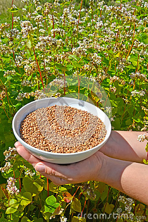 Free Female Hands Hold A Bowl With Buckwheat Against The Background O Of The Blossoming Buckwheat Of A Sowing Campaign Fagopyrum Escu Stock Photo - 97173570