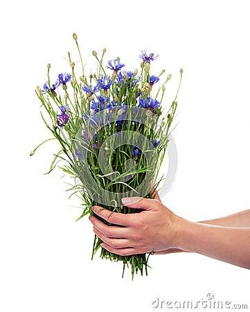 Female hands hold cornflowers
