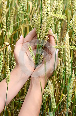 Free Female Hands With Wheat Ears On A Wheaten Field Stock Photo - 33153900