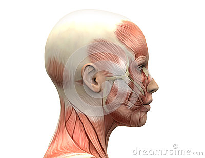 Female Head Muscles Anatomy Side View Stock Illustration