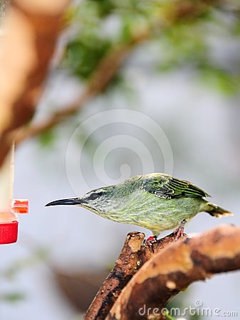 Female Honeycreeper Bird
