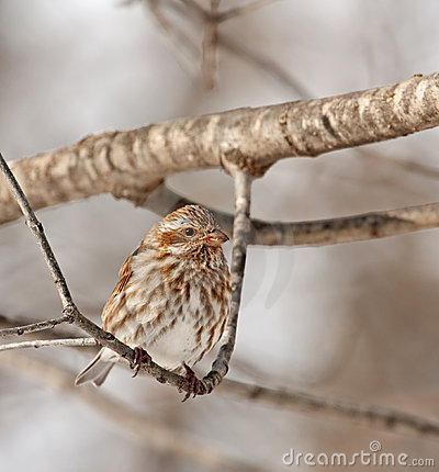 Free Female House Finch (Carpodacus Mexicanus) Royalty Free Stock Photography - 12682937