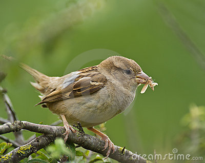 Female House Sparrow with moth
