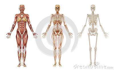 Female human muscles and skeleton