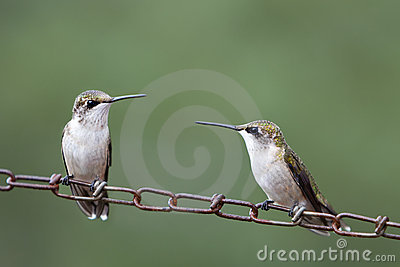 Female Hummingbirds