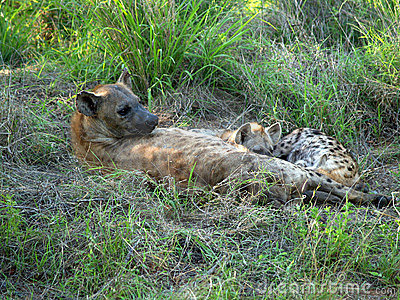 Female Hyena with cubs
