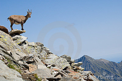 Female Ibex alert