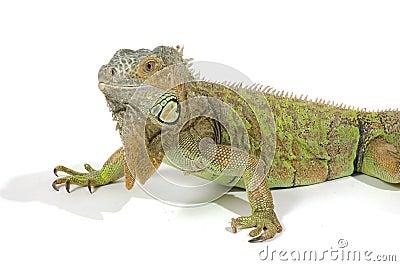 Female  iguana with big beard