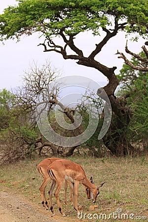 Female impala african tree