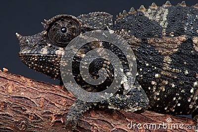 Female Jackson s chameleon